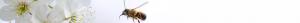 Biene im Anflug auf eine Blume
